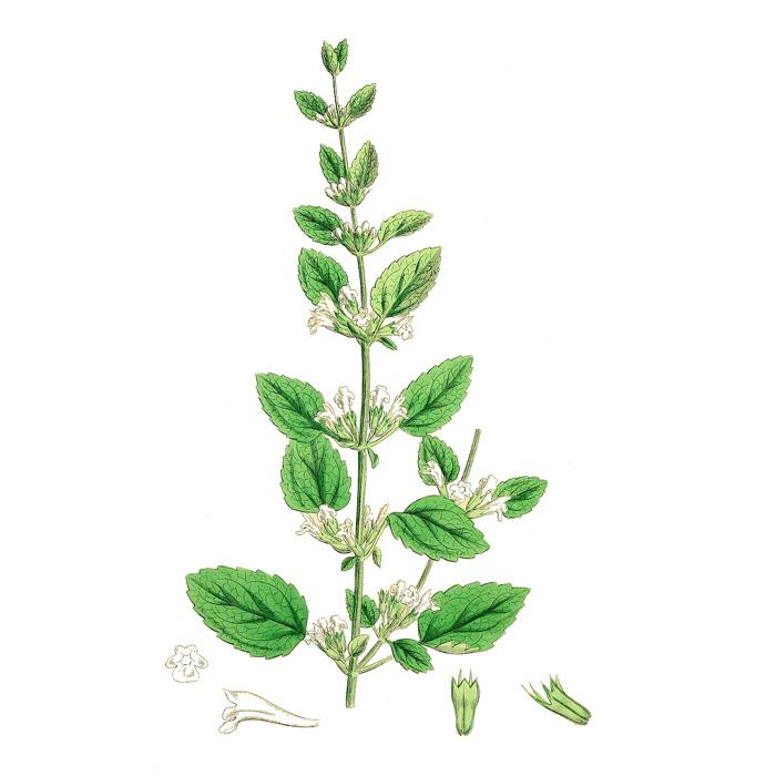 Isopul – O Plantă Medicinală Sacră