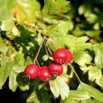 Ceaiul de păducel - leac pe termen lung pentru hipertensiune și colesterol