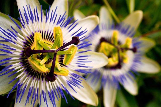 Passiflora sau Floarea Pasiunii