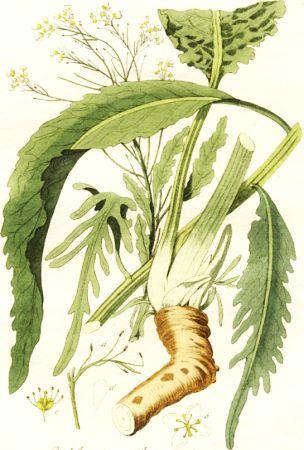 Hrean (Ar rusticana)