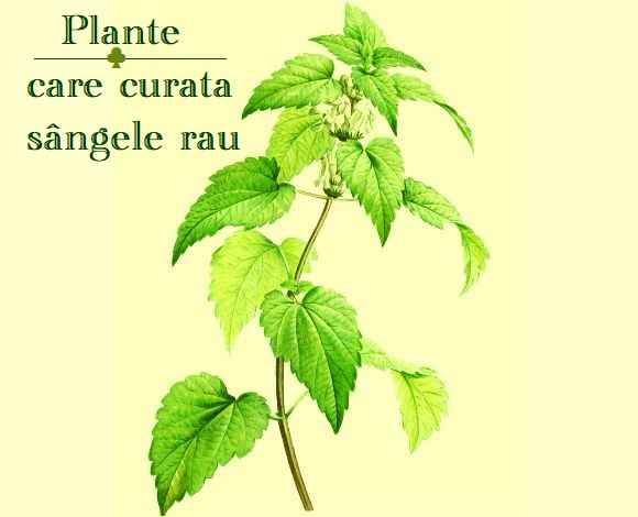 Plante care curata sangele