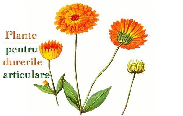 Plante pentru dureri articulare
