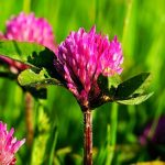 Trifoi rosu - proprietati, beneficii, contraindicatii