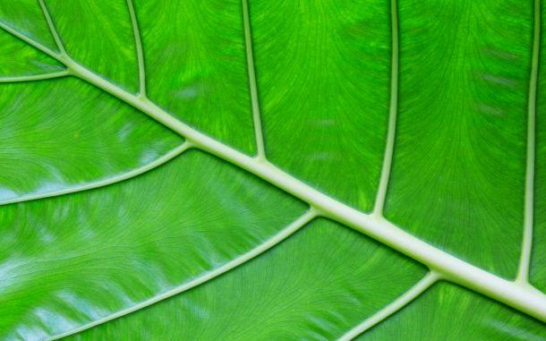 Vene umflate cauze si tratament naturist