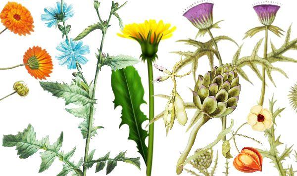 Ceaiuri din plante pentru ficat gras