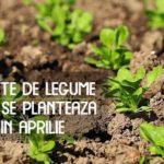 Seminte de legume care se planteaza in aprilie 1