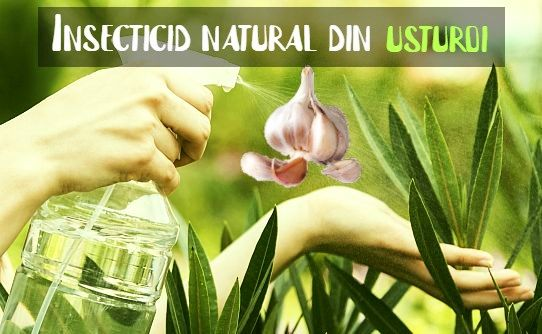 Insecticid natural din usturoi