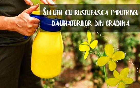 Solutie cu rostopasca impotriva daunatorilor de plante si flori