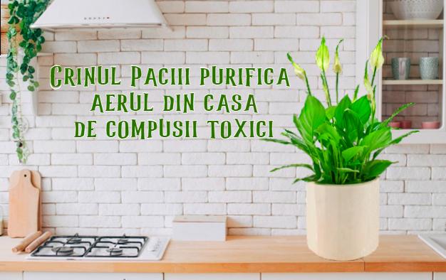 Crinul Pacii purifica aerul din casa