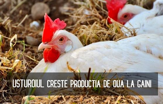 Usturoiul creste productia de oua la gaini