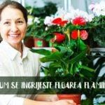 Anthurium ingrijire si beneficii