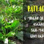Patlagina proprietati si beneficii