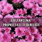 Crizantema proprietati si beneficii