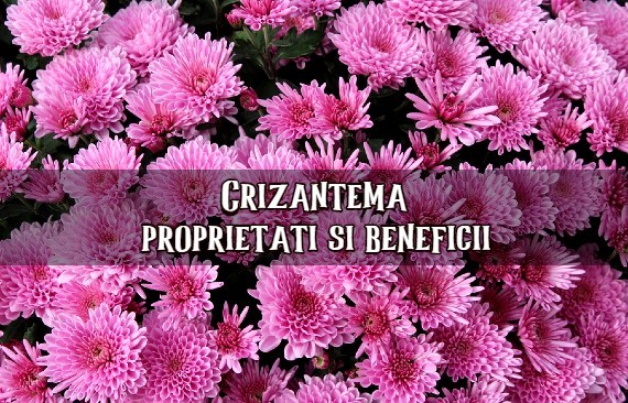 Crizantema proprietati si beneficii