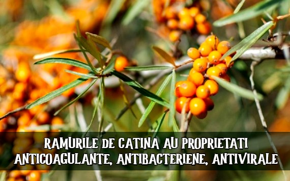 Ramurile de catina au proprietati anticoagulante