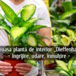 Dieffenbachia – ingrijre, udare, inmultire
