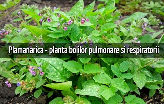 Plamanarica - planta bolilor pulmonarePlamanarica - planta bolilor pulmonare si respiratorii.jpg si respiratorii.jpg