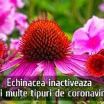Echinaceea inactiveaza mai multe tipuri de coronavirus