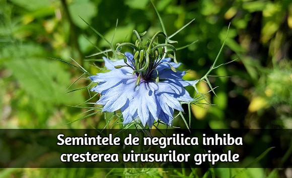 Semintele de negrilica inhiba cresterea virusurilor gripale