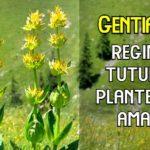 Gentiana regia plantelor amare