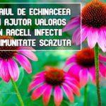 Ceaiul de echinaceea - un ajutor natural in infectii si imunitate scazuta