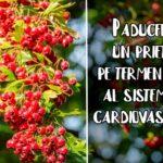 Paducelul – un prieten pe termen lung al sistemului cardiovascular