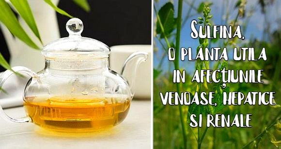 Sulfina, o planta utila in afecțiunile venoase, hepatice si renale