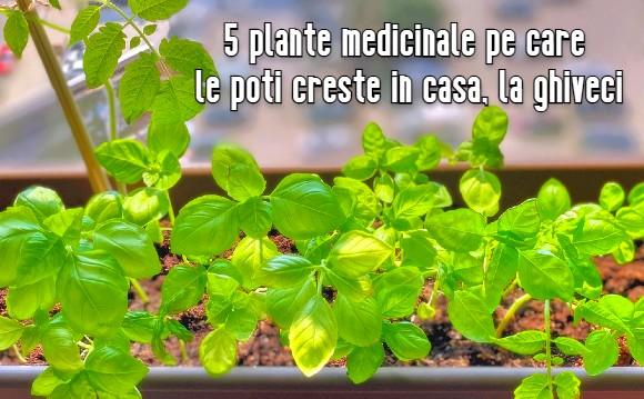 5 plante medicinale pe care le poti creste in casa, la ghiveci