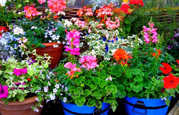 Cenușa ajută plantele să înflorească mai abundent în primăvară
