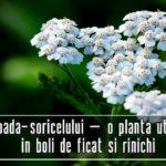 Coada-soricelului – o planta care poate trata boli de ficat si rinichi