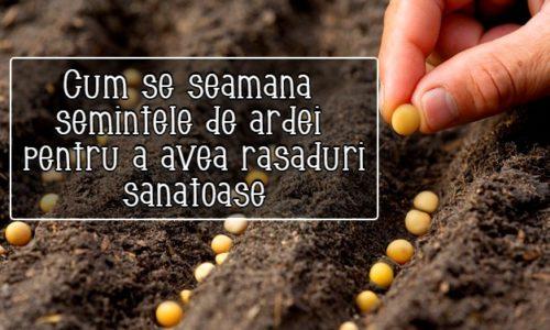 Cum se seamana semintele de ardei pentru a avea rasaduri sanatoase