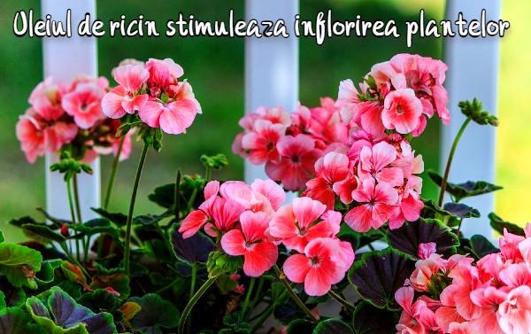 Udați plantele cu ulei de ricin pentru a înflori abundent în martie