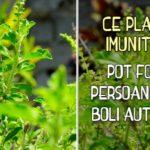 Ce plante imunitare pot folosi persoanele cu boli autoimune