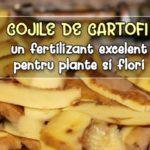 Cojile de cartofi - un fertilizant excelent pentru plante si flori