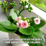 Cum sa inmultesti florile din ghiveci prin frunze – metoda simpla!