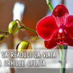 Cum sa readuci la viata o orhidee ofilita