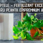 Fertilizant din lapte pentru Epipremnum aureum