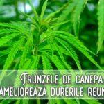 Frunzele de canepa amelioreaza durerile reumatice