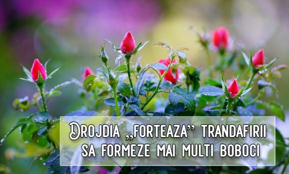 """Drojdia """"forteaza"""" trandafirii sa formeze mai multi boboci"""