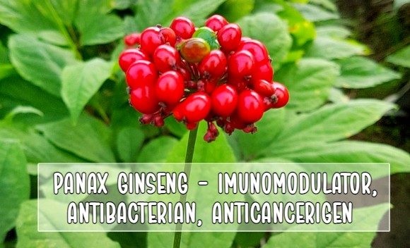 Ginsengul - imunomodulator, antibacterian, anticancerigen