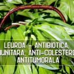 Leurda are proprietati remarcabile imunitare, anticolesterol si antitumorale