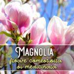 Magnolia - floare comestibila si medicinala