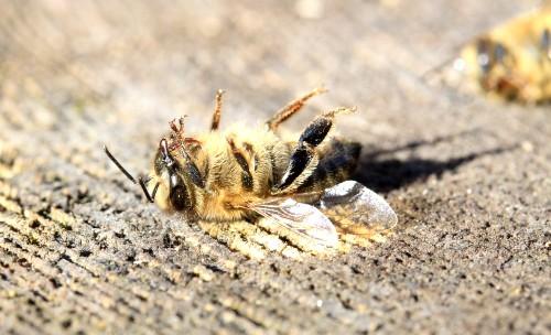 Poluarea scurteaza viata albinelor