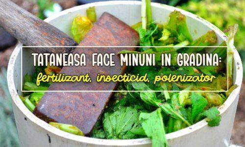 Tataneasa in gradina: fertilizant, insecticid, polenizator