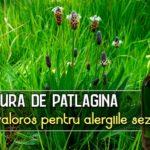 Tinctura de patlagina amelioreaza rinita alergica
