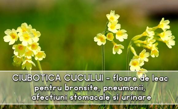 Ciubotica cucului floare de leac pentru bronșite, pneumonii, afecțiuni stomacale și urinare