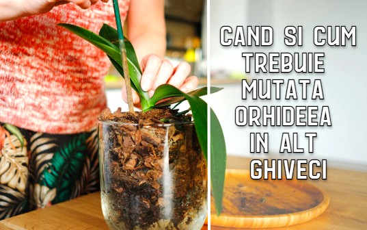 Cand trebuie mutata orhideea