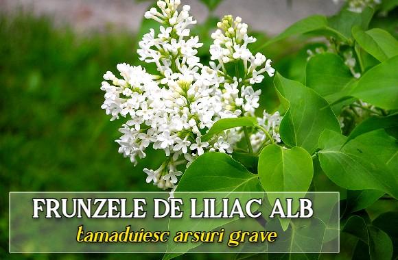 Frunzele de liliac alb  tamaduiesc arsuri grave