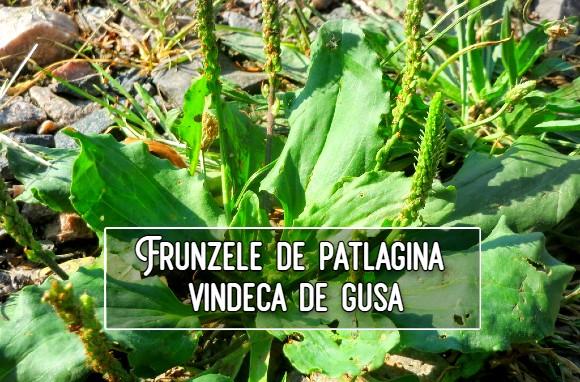 Frunzele de patlagina vindeca de gusa