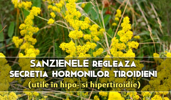 Sanzienele regleaza secretia hormonilor tiroidieni (utile in hiper- si hipo-tiroidie)